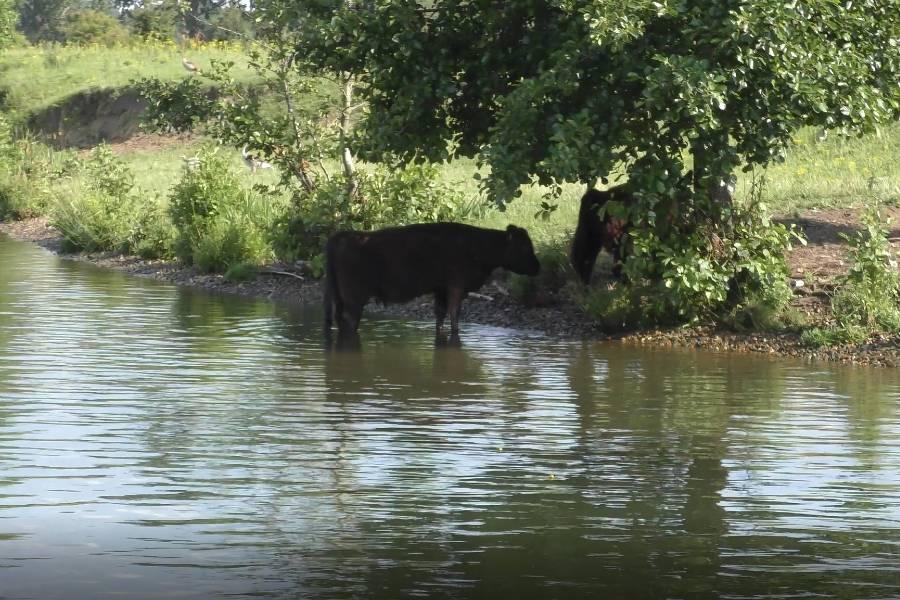 Galloway kühe Maasplassen web
