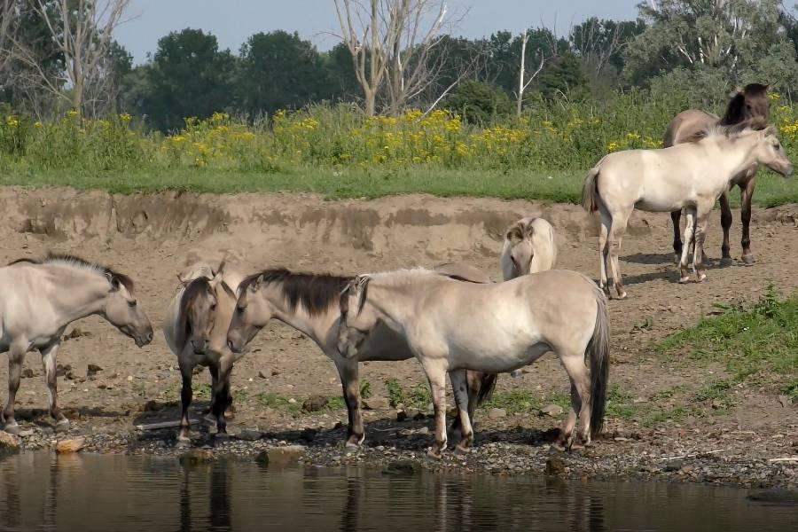 pferde Maasplassen