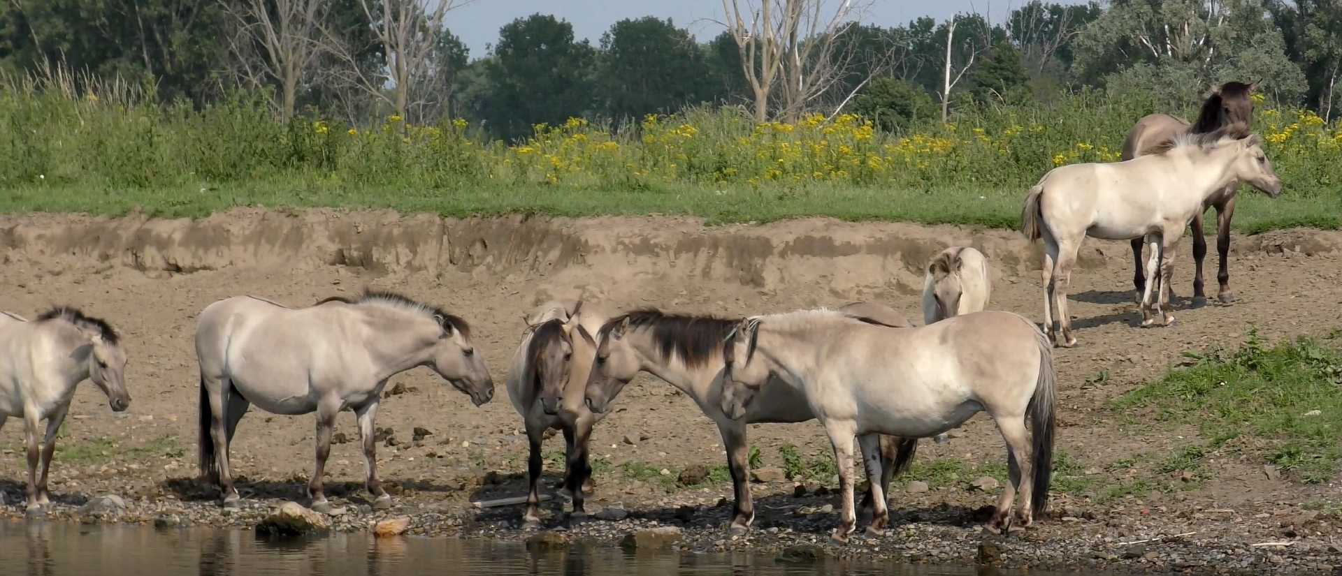 paarden Maasplassen